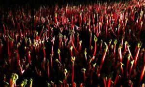 Yorkshire rhubarb is always kept in the dark